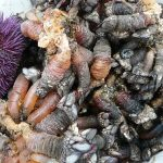 goose neck barnacles and tucup