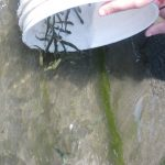 collecting seaweed in a bucket
